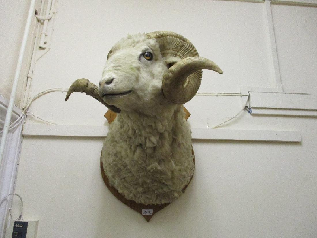Large early 20th Century taxidermy rams head mounted on