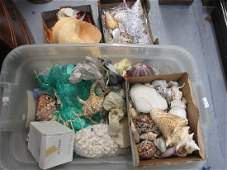 Extensive collection of seashells including a large