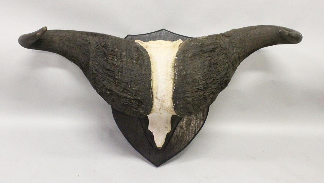 AN IMPRESSIVE PAIR OF WATER BUFFALO HORNS, WITH SKULL,