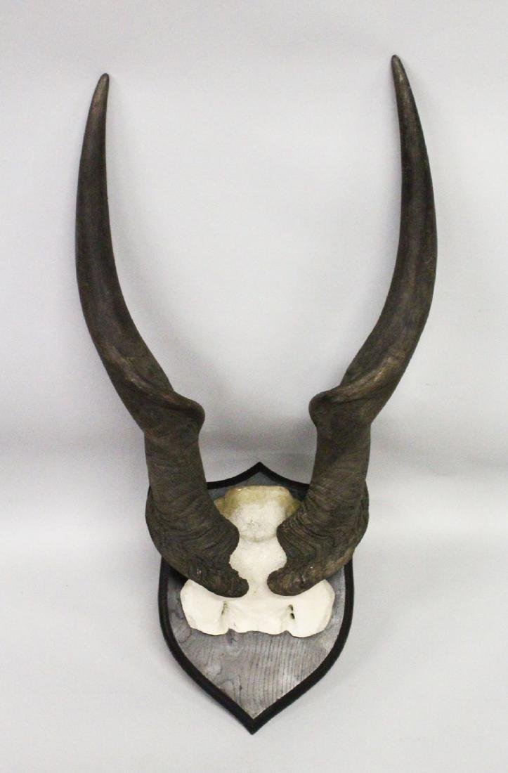 AN IMPRESSIVE PAIR OF GIANT ELAND HORNS, WITH SKULL,