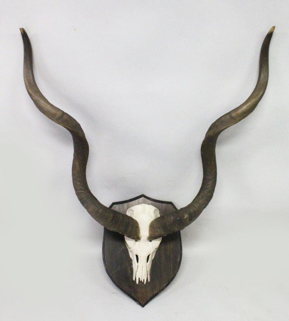 AN IMPRESSIVE PAIR OF KUDU HORNS, WITH SKULL, mounted