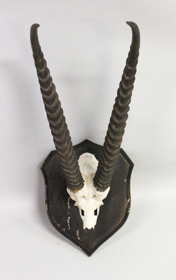 A PAIR OF GAZELLE HORNS, WITH SKULL, mounted on a