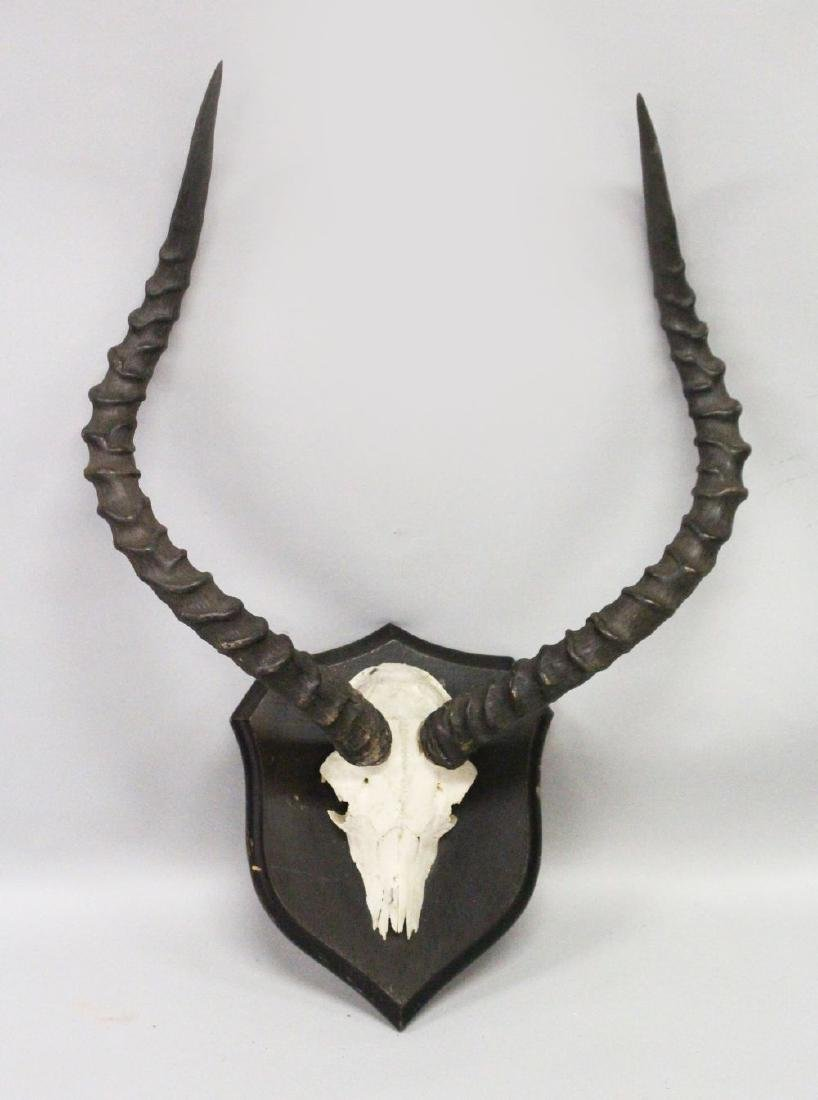 AN IMPRESSIVE PAIR OF IMPALA HORNS, WITH SKULL, mounted