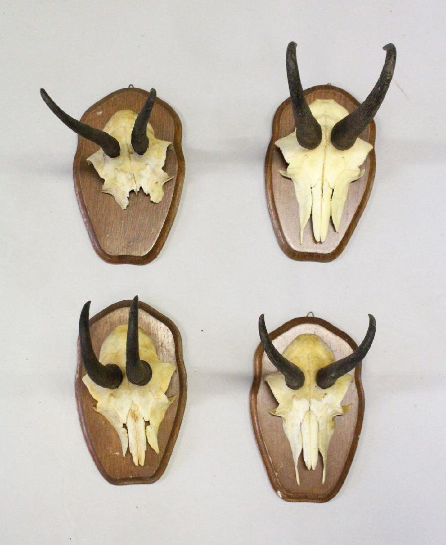 A GROUP OF FOUR MOUNTED CHAMOIS HORNS, WITH SKULLS, on