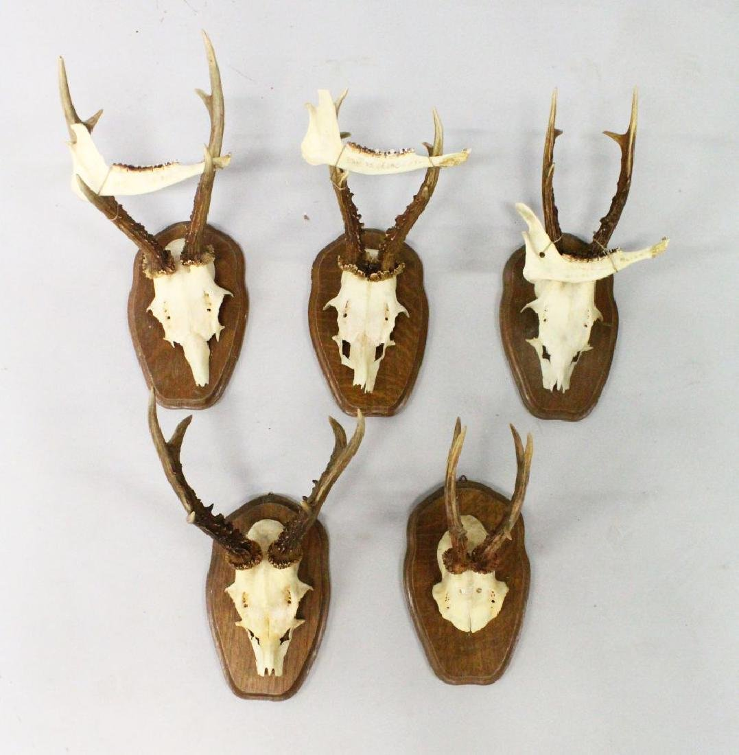 A GROUP OF FIVE MOUNTED ROE DEER HORNS, WITH SKULLS, on