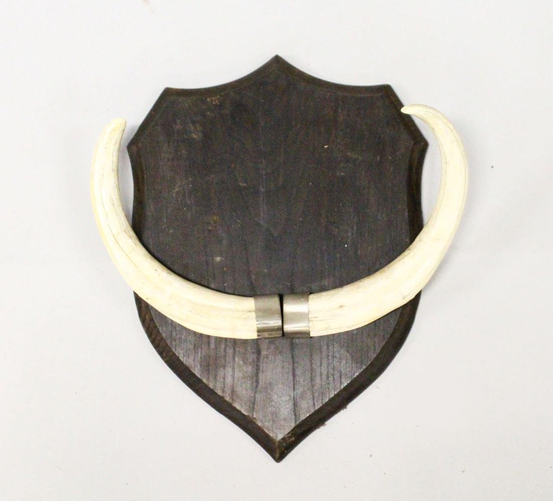 A PAIR OF BOARS TEETH, mounted on a shield shape
