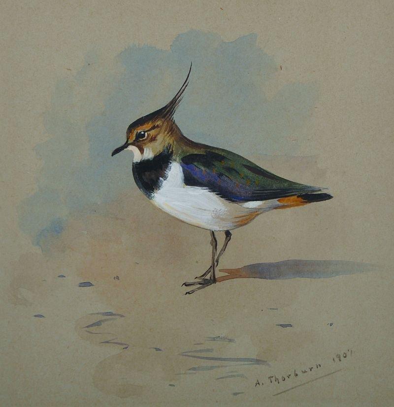 Archibald Thorburn (1860-1935) British. 'A