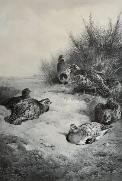 Archibald Thorburn (1860-1935) British. A Covey of