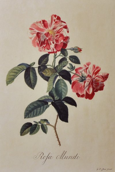 """After Georg Dionysius Ehret (1710-1770) German. """"Rosa"""