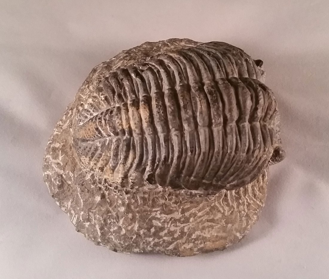 Detailed Large Fossilized Trilobite