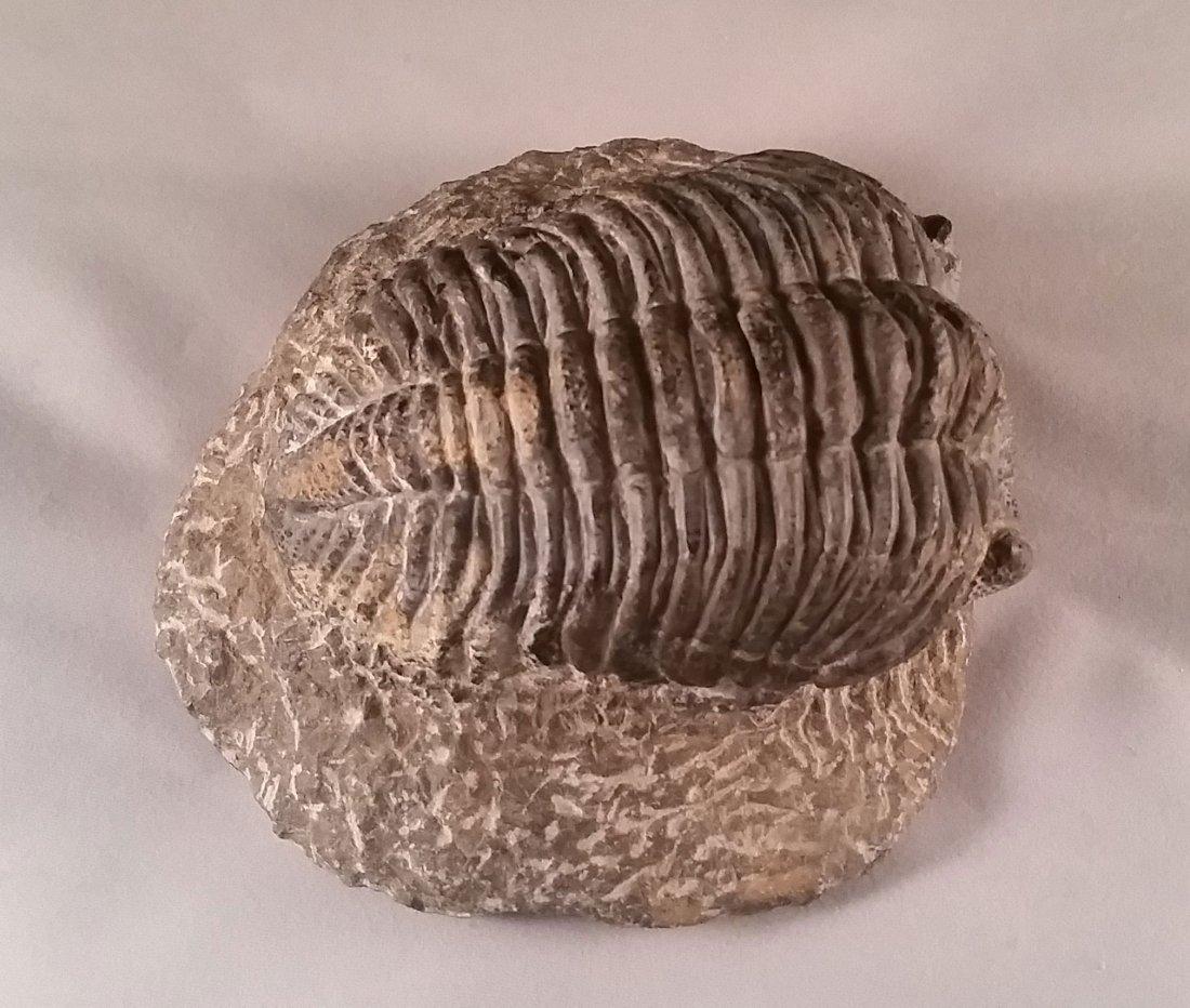Detailed Large Fossilized Trilobite