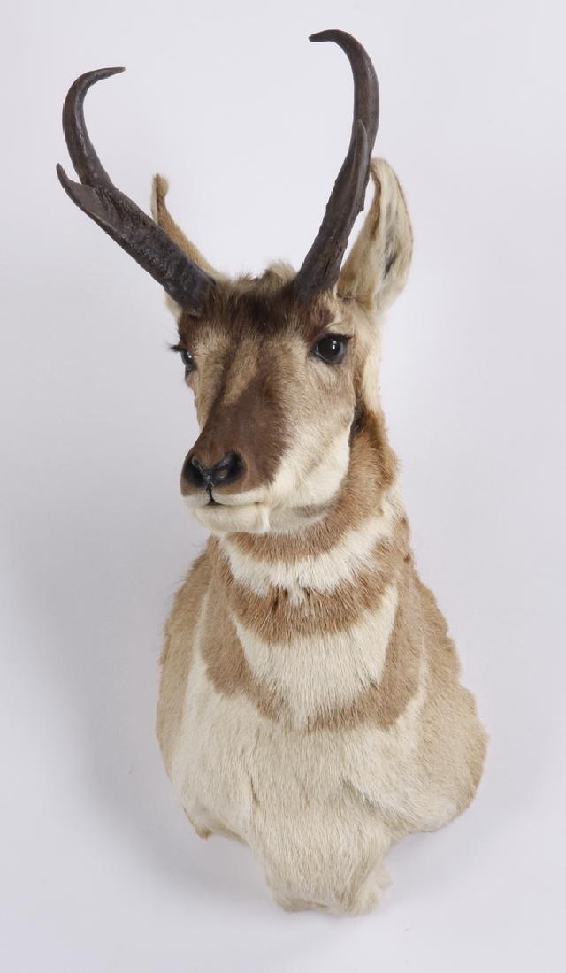 Prong horn antelope shoulder mount