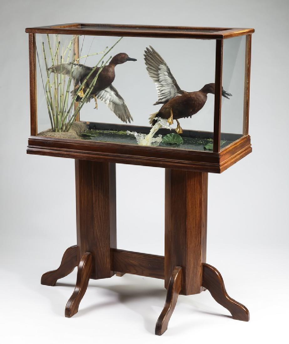 Taxidermy Cinnamon Teal ducks in vitrine on stand