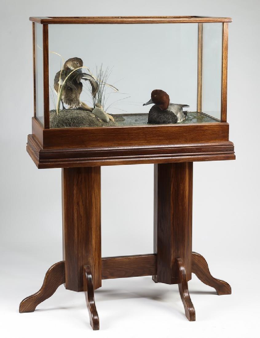 Taxidermy Redhead ducks in vitrine on stand