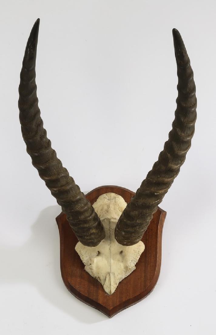 Pair of mounted Blesbok horns