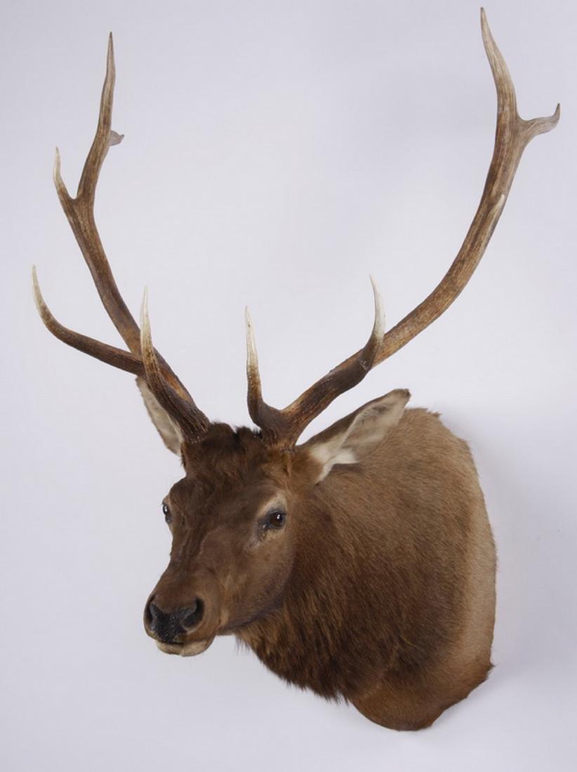 Elk shoulder mount - 2
