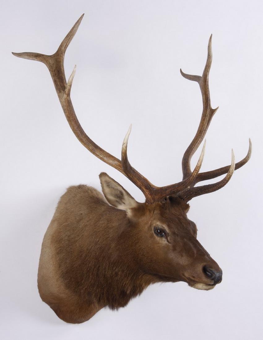 Elk shoulder mount - 3