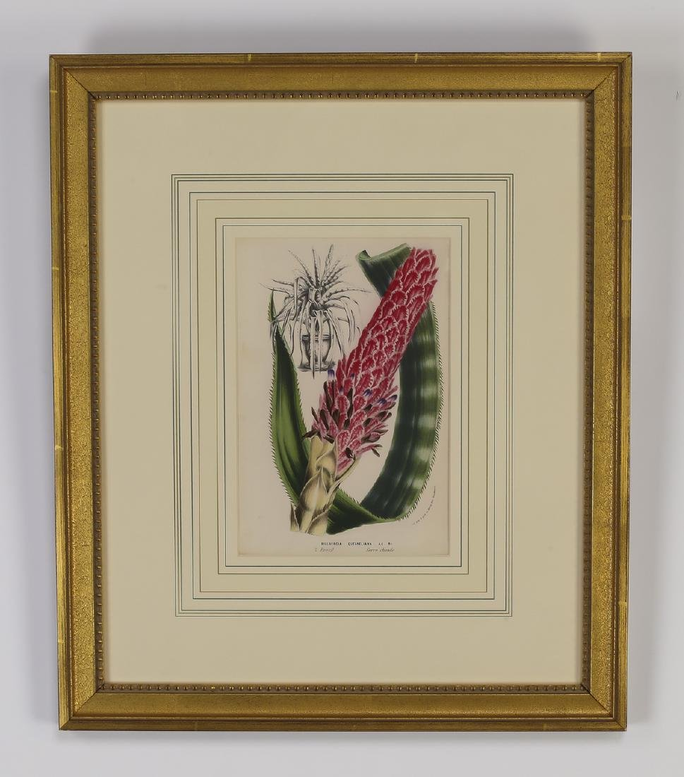 (6) 19th c. Belgian botanical lithographs