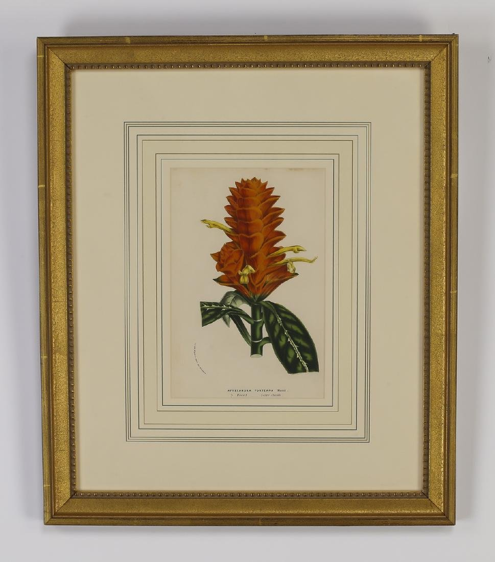 (6) 19th c. Belgian botanical lithographs - 4
