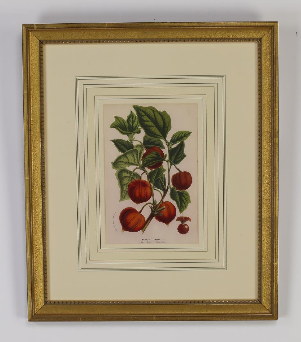 (6) 19th c. Belgian botanical lithographs - 6