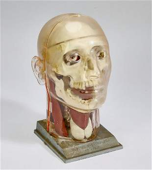 'The Visible Head' anatomical model by Renewal, 1960