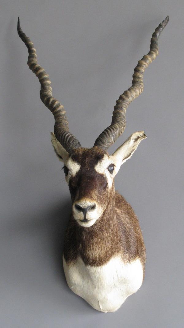 12: Black buck antelope shoulder mount