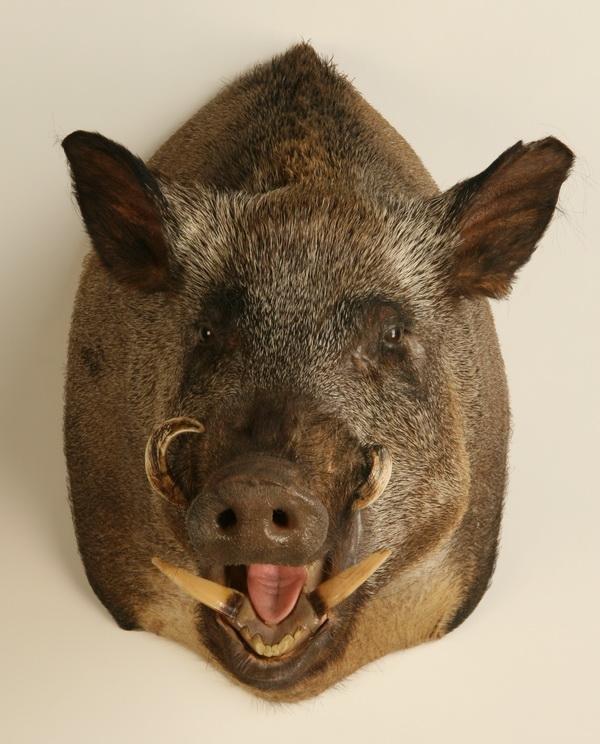 14: Wild boar shoulder mount