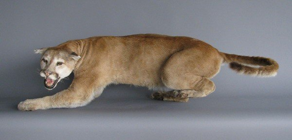251: Full size mountain lion mount
