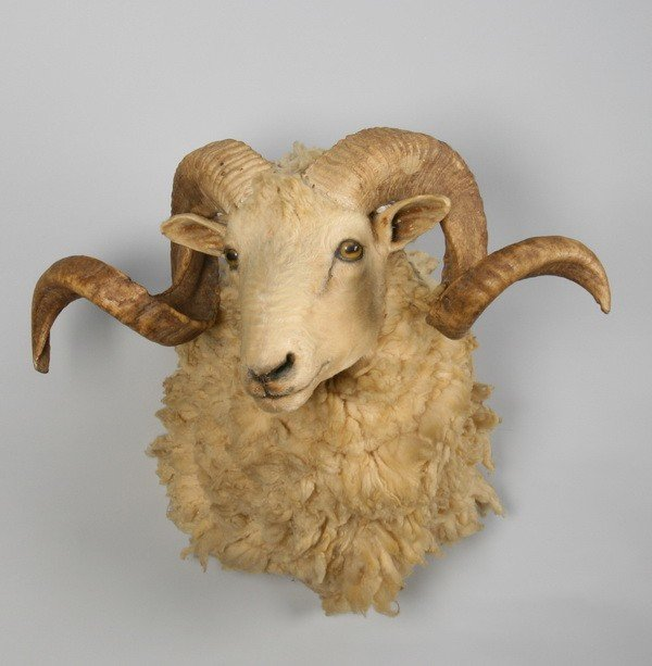 252: Curly horned ram shoulder mount