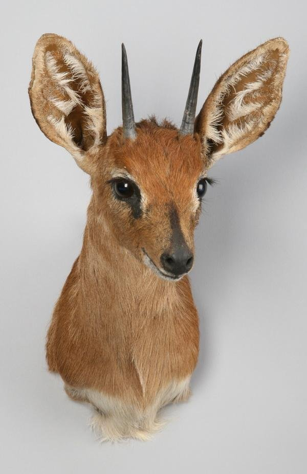 255: Dik dik shoulder mount,