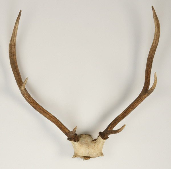 260: Pair of large deer antlers,