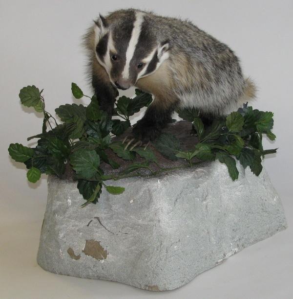 276: Full size American badger mount