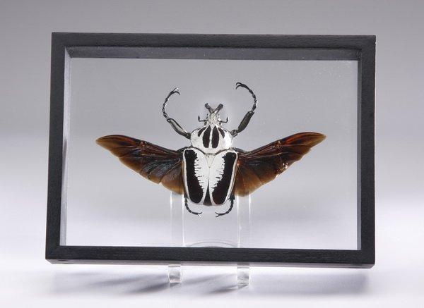 Framed goliath beetle specimen