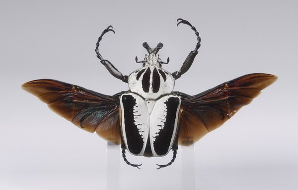 Framed goliath beetle specimen - 2