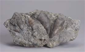 Orthoceras fossil plate