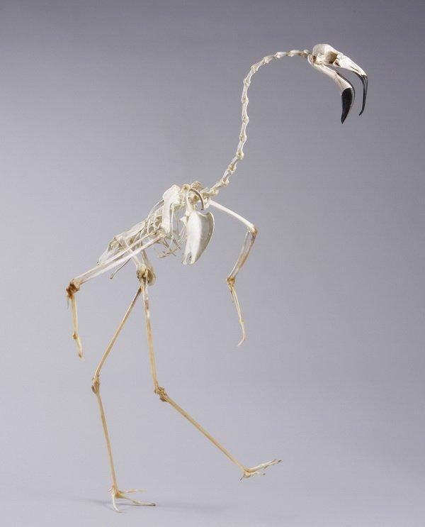 Chilean flamingo skeleton