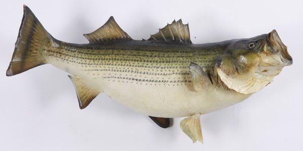 Striped bass mount