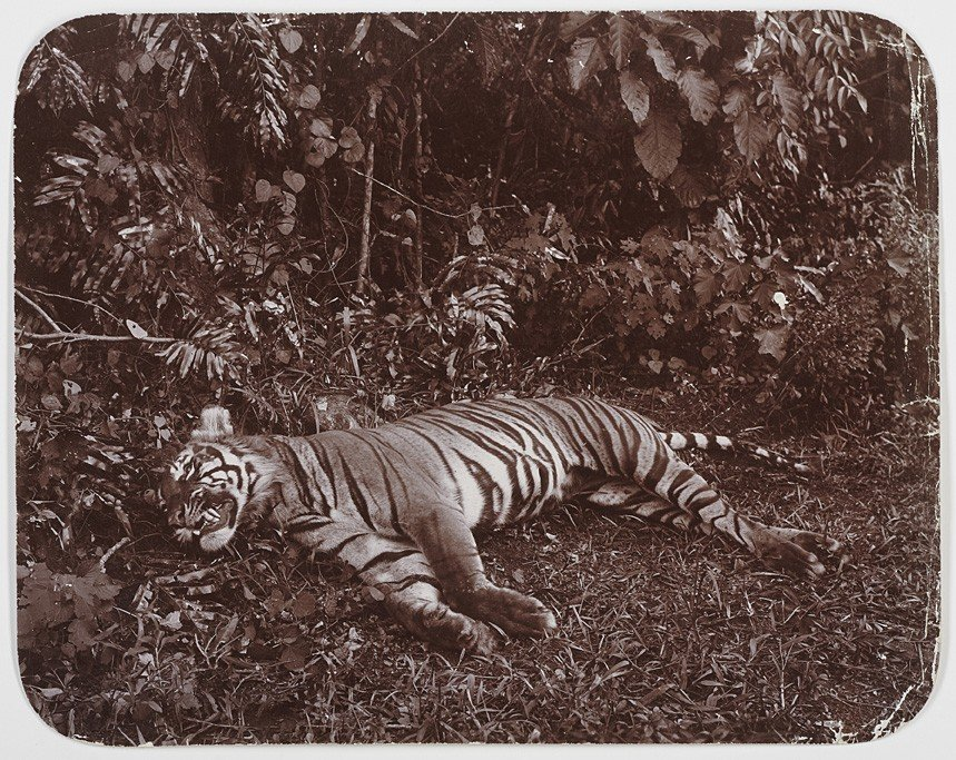 1005: Anonymous Photographer, Indonesian Tiger