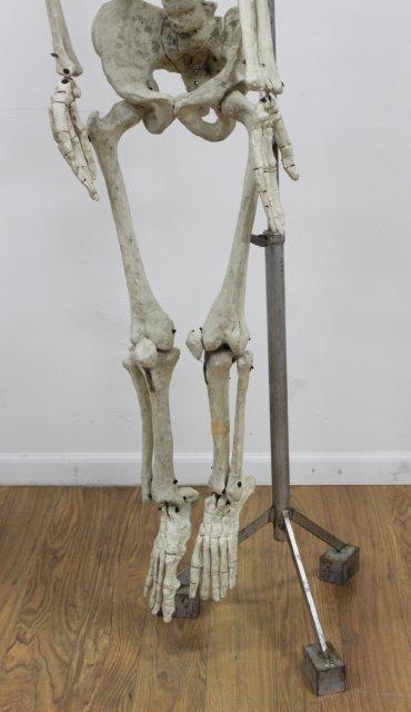 Doctor's Papier Mache Model of Human Skeleton - 3