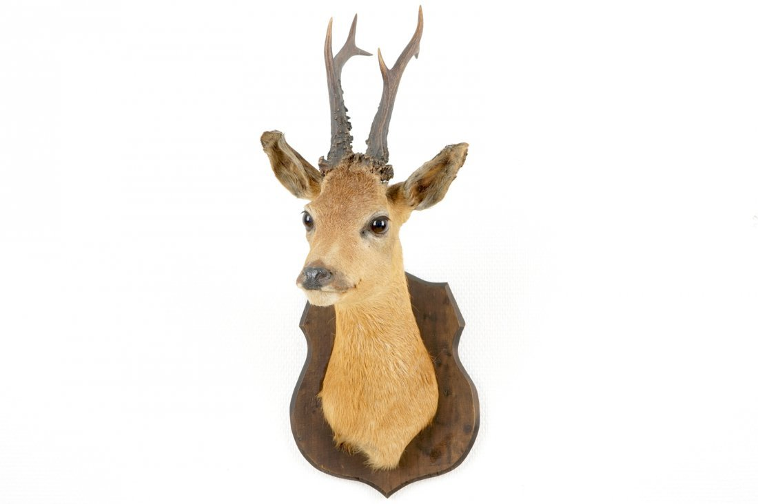 A bust of a roe deer, mounted on wood, taxidermy, late