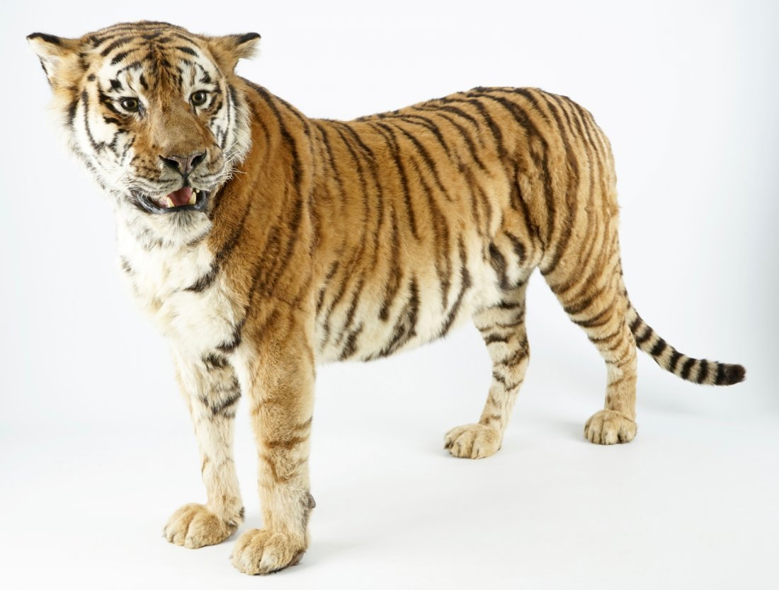 A Bengal tiger, presented standing, recent taxidermy