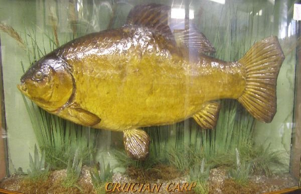 429: Specimen Crucian Carp in bowfronted glazed