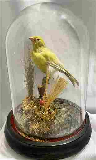 Victorian Canary in dome