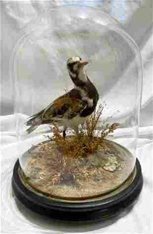Victorian Shorebird in dome