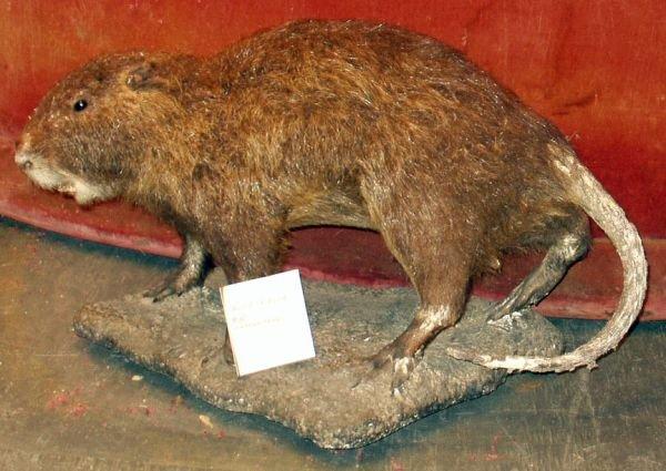 13: GIANT RAT TAXIDERMY NUTRIA