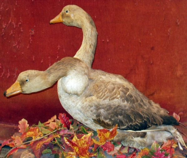 15: SIDE SHOW GAFF TWO-HEADED GOOSE TAXIDERMY