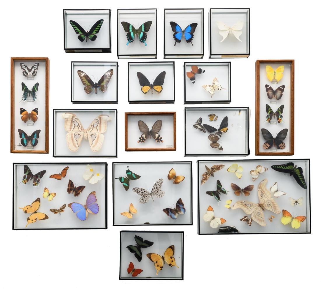 A collection of exotic and other butterflies, all in