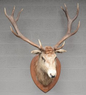 A Hunting Trophy Of A Deer, H 140 Cm