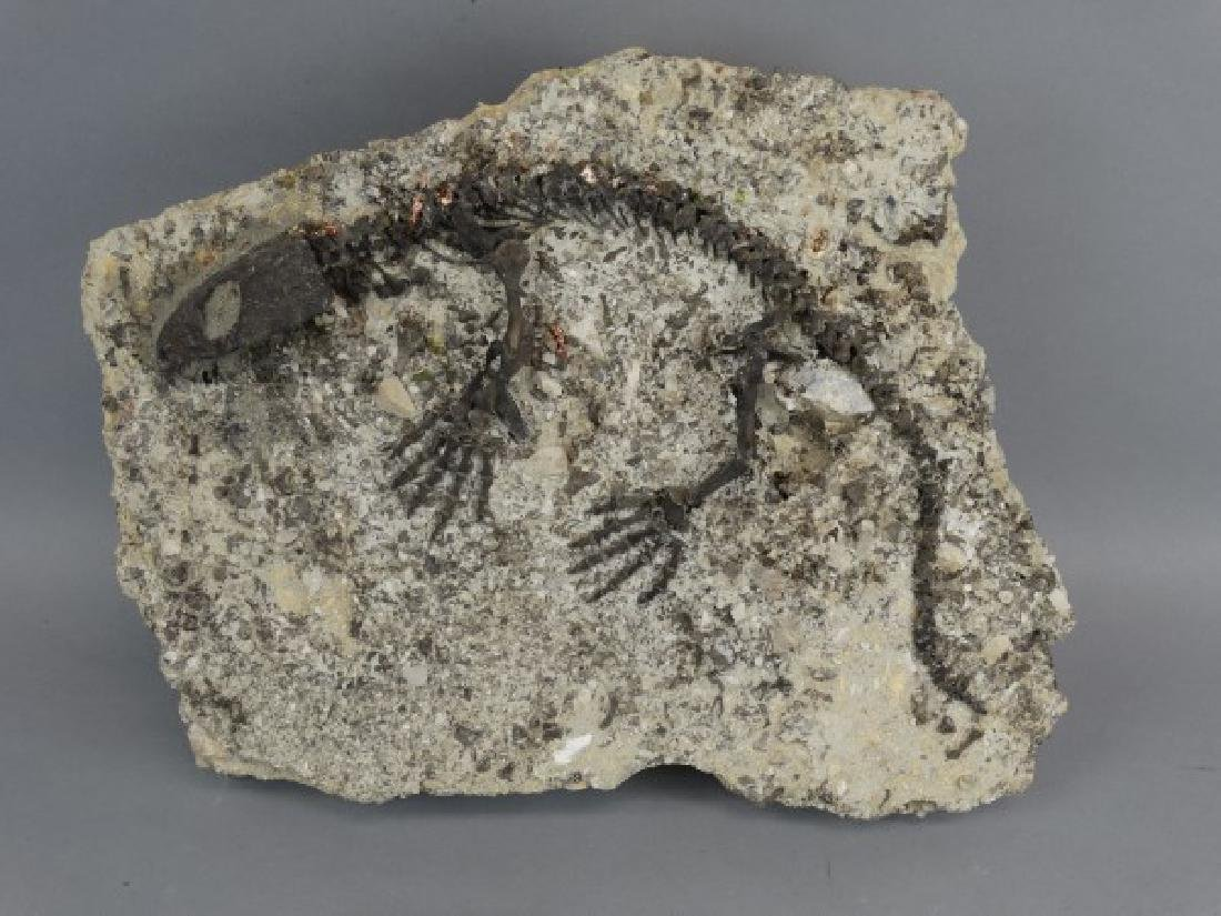 CAPTORHINUS FOSSIL -Extinct Permian Period Reptile