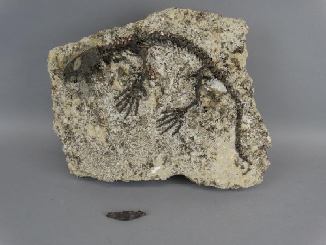 CAPTORHINUS FOSSIL -Extinct Permian Period Reptile - 2